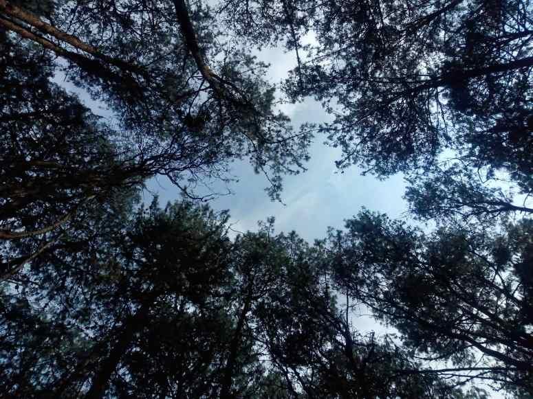 Kodaikanal_pine forest-min